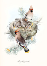 Numerous Bird Family In The Nest With Parents Watching All Over Off The Branch. Old Illustration Of Bohemian Waxwing (Bombycilla Garrulus). By John Gould Publ. In London 1862 - 1873