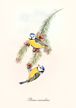 Two Little Blue And Yellow Cute Birds On A Thin Isolated Pine Branch. Old Colorful And Detailed Illustration Of Eurasian Blue Tit (Cyanistes Caeruleus). By John Gould Publ. In London 1862 - 1873