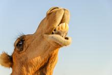 Closeup Of A Camel's Lower Teeth