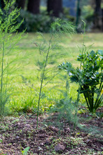 Green Young Asparagus Plant In The Vegetable Garden In The Sun