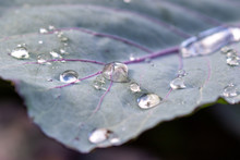 Close Up Of Dewdrops On A Purp...