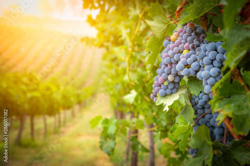 Wall Murals Vineyard Lush Wine Grapes Clusters Hanging On The Vine