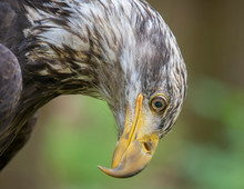 Young Bald Eagle Looking Down