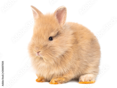 Fototapeta Adorable baby red-brown rabbits isolated on white background. Lovely baby rabbit sitting. obraz na płótnie