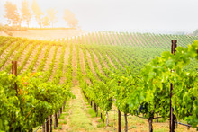 Beautiful Wine Grape Vineyard ...