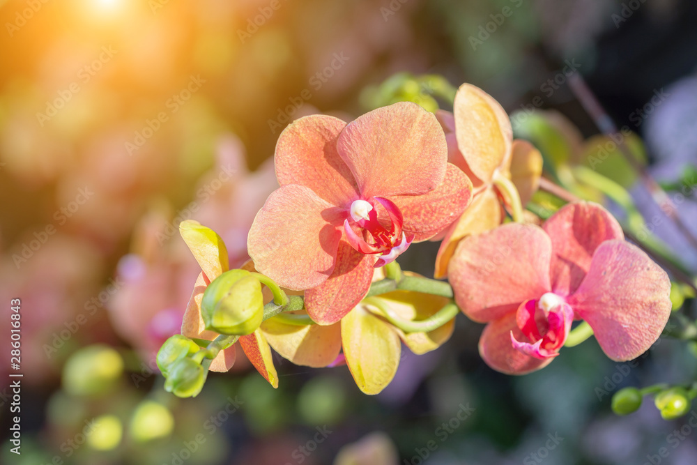 Fototapety, obrazy: Orchid flower in orchid garden at winter or spring day for postcard beauty and agriculture design. Phalaenopsis Orchidaceae.