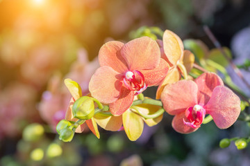 Naklejka na ściany i meble Orchid flower in orchid garden at winter or spring day for postcard beauty and agriculture design. Phalaenopsis Orchidaceae.