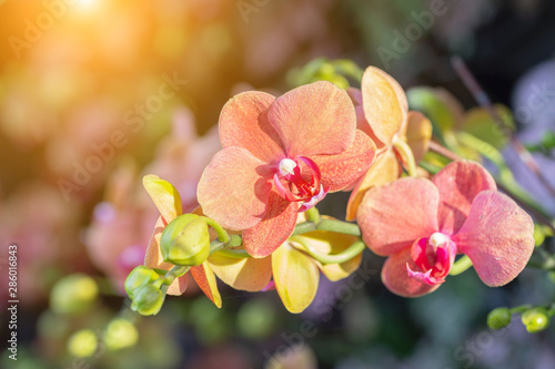 Fototapeta Orchid flower in orchid garden at winter or spring day for postcard beauty and agriculture design. Phalaenopsis Orchidaceae. obraz
