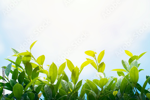 Photo sur Toile Jardin Closeup green leave in garden at summer under sunlight background. Ecology and go green. World environment day.