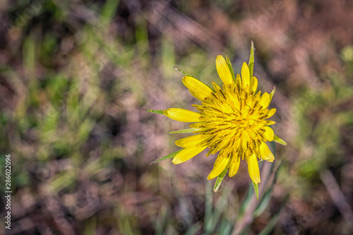 Yellow Salsify Flower