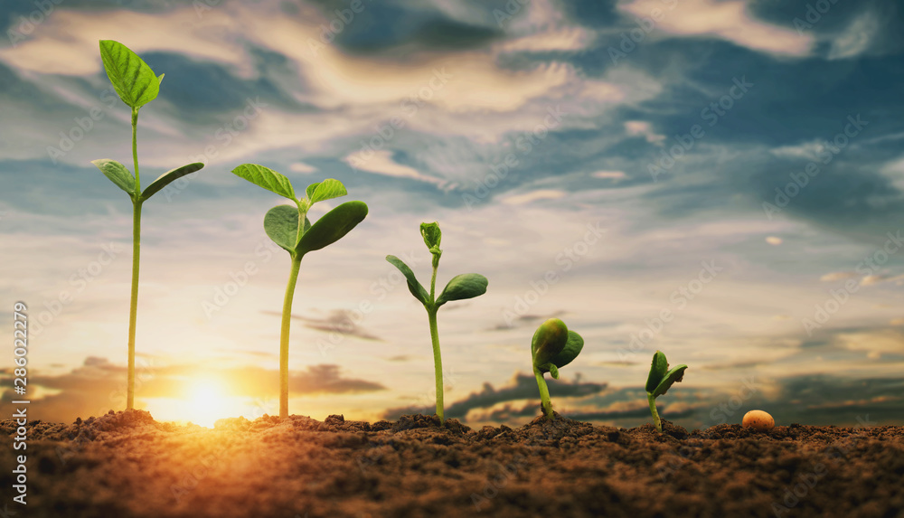 Fototapeta soybean growth in farm with blue sky background. agriculture plant seeding growing step concept
