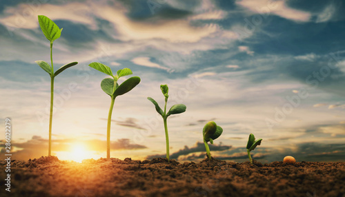 Slika na platnu soybean growth in farm with blue sky background