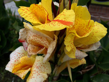 Yellow Tall Canna Lily Bulbs