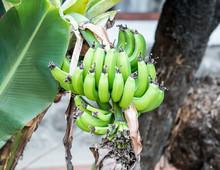 Green, Unripe Bananas Growing On A Banana Tree.