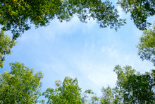 The Tops Of Green Trees In The Sunshine Against A Blue Sky. View From Below.