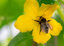 Bee Pollinates Cucumber Plant In Greenhouse. Close-up Image. Garden Concept.