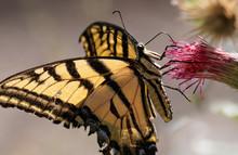A Swallowtail Butterfly Has It...