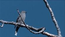Swamp Sparrow (Melospiza Georg...