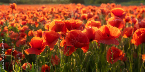 Poster Cappuccino panorama of magnificent red poppies illuminated by the setting sun
