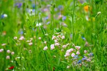 A Meadow Of Wild Flowers
