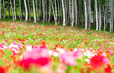 Fototapeta Japoński Colorful flowers in park of Hokkaido, japan
