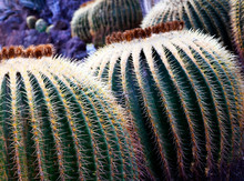 Large Group Of Echinocactus Grusonii Or Golden Barrel Cactus In Tropical Garden Of Tenerife,Canary Islands,Spain. Tropical Ornamental Plants Concept.Selective Focus.