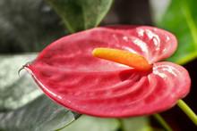 Red Anthurium Plant Detail