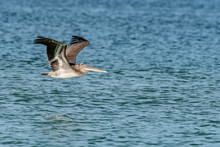 Brown Pelican Flying Over The ...