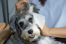 Schnauzer Dog Wipe The Ear