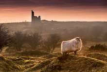Late Evening Highlights, With Backlit Handsome Sheep On Bodmin Moor In Cornwall