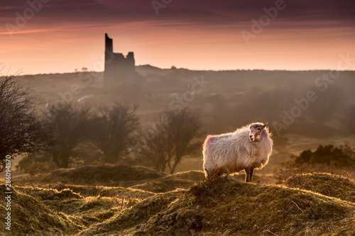 Foto auf AluDibond Cappuccino Late Evening Highlights, with backlit handsome sheep on Bodmin Moor in Cornwall