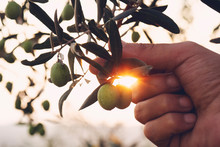 Olive Branch In Farmer's Hand ...