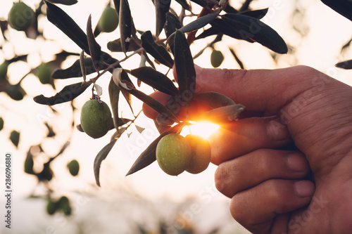 Foto op Plexiglas Olijfboom Olive branch in farmer's hand - close up. Agriculture or gardening - country outdoor scenery, gold sunset light.