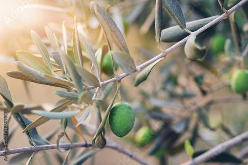 Foto op Canvas Olijfboom Olive branches on sunset in mediterranean region