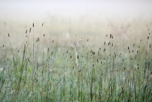Grass In The Morning Fog Abstractly Blured Background. Shallow Depth Of Field