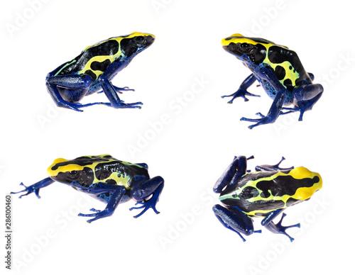 Obraz na plátne Blue dyeing dart frog Dendrobates tinctorius isolated on white