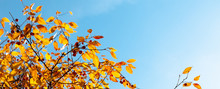 Yellow And Red Leaves Of Tree Against Blue Sky. Beautiful Sunny Weather In Fall.