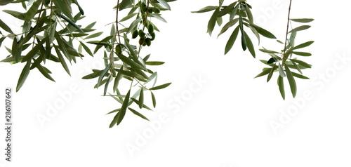 Fond de hotte en verre imprimé Oliviers Olivenzweige mit Oliven, isoliert und freigestellt vor hellen Hintergrund