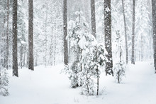 Close Up Of A Small Pine Tree Covered In Snow In A Winter Forest Under Snowfall
