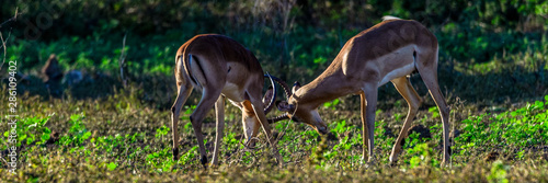 Recess Fitting Antelope Fighting for Area