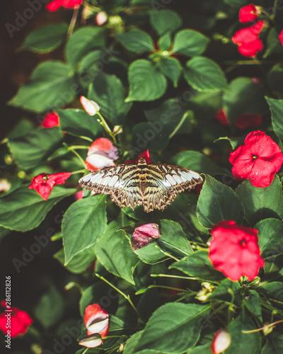 Malachite butterfly on a flower Fototapet