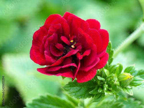 Closeup of a beautiful red Potentilla flower, variety 'Flamenco' Tapéta, Fotótapéta