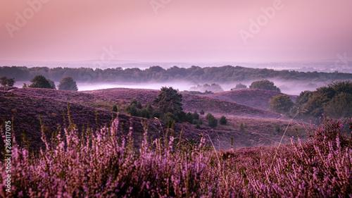 Poster Rose clair / pale Posbank netherlands, misty foggy sunrise over the national park Veluwezoom Posbank Netherlands, heather flowers in blooming, purple hills