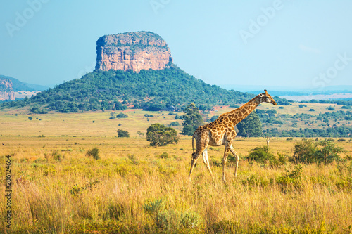 Fototapeta premium Żyrafa (Giraffa Camelopardalis) spacerująca po afrykańskiej sawannie z formacją geologiczną w tle wewnątrz rezerwatu Entabeni Safari w prowincji Limpopo w RPA.