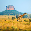canvas print picture Giraffe (Giraffa Camelopardalis) walking through the African Savannah with a butte geological formation in the background inside the Entabeni Safari Reserve, Limpopo Province, South Africa.