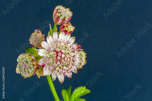 Photo cluster of astrantia blossoms,leaves,blue paper background,vintage painting styl