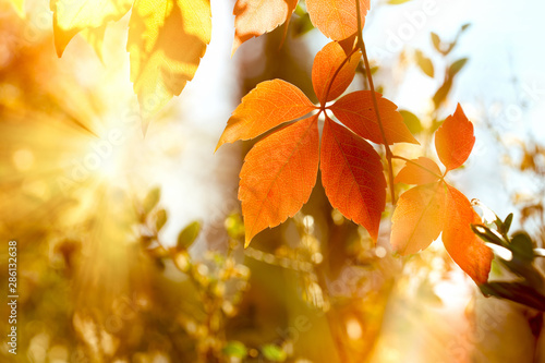 Fotografía Autumn leaf, beautiful nature in autumn, autumn leaves on tree lit by golden sun