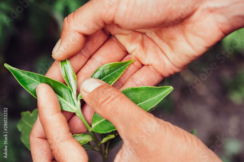 Fotografie, Obraz  Hand Holding Green Leaves of Tea macro photography close up.