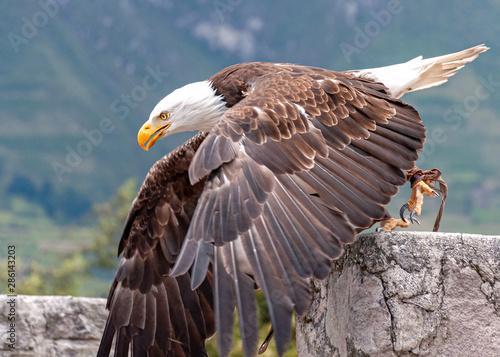 Poster Aigle Bald eagle at a bird conservation park, near Otavalo, Ecuador, South America