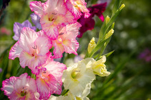 Gladiolus, Sword Lily, Pink An...